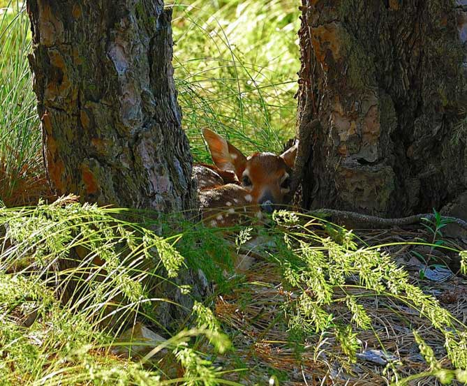 Fawn hiding behind some trees