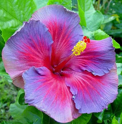 Nightfire Hibiscus