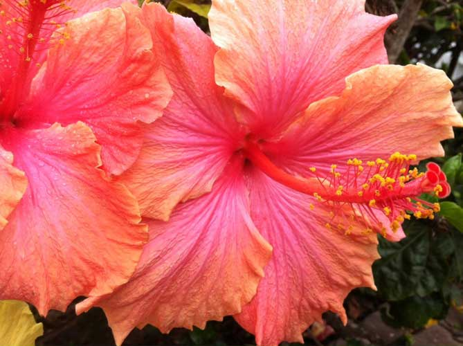 Salmon-colored Hibiscus