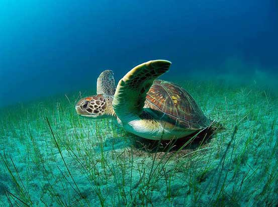 Ancient Hawaiian Honu or Green Sea Turtle