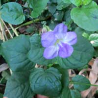 Photo of Chinese Violet